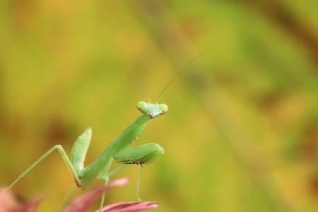 Mantis of Thailand Standard-Bild