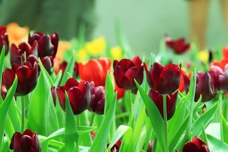 Tulips,Thailand