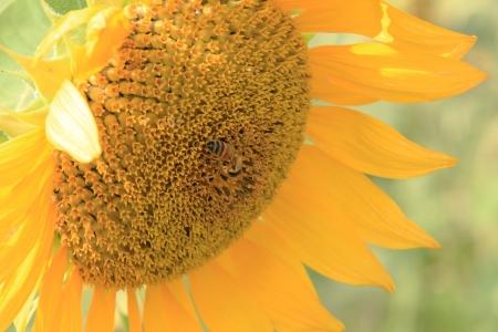 Sunflower pollen. photo