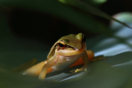 Frog in Thailand photo