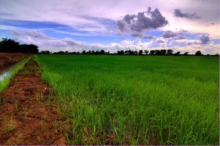 cornfield,Thailand photo