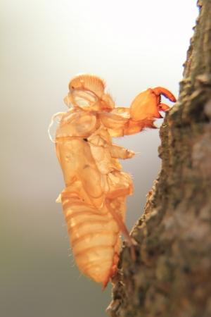 cicada bug: Cicada molting.