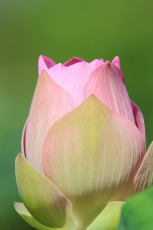 Close-up photo of the lotus. Stock Photo