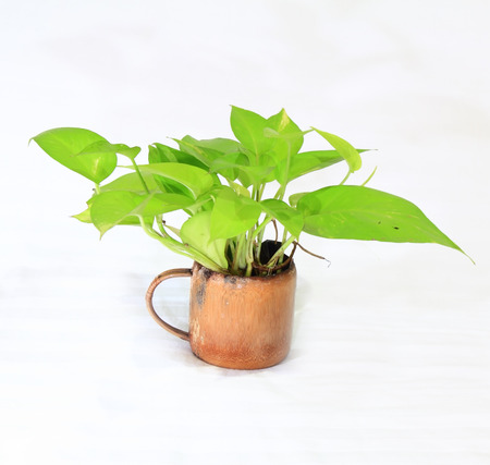 alkaloid: Vase betel alkaloid isolated from the white background