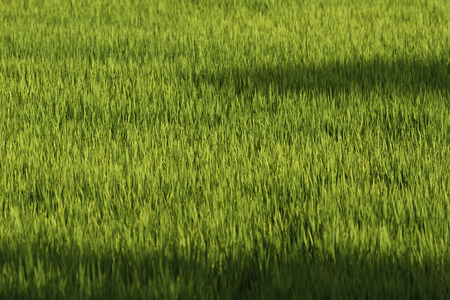 Background of green paddy fields