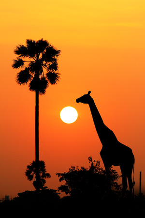 Silhouette of a giraffe eating leaves at twilight. photo