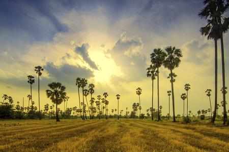 palm trees  on beautiful sunset  Stock Photo