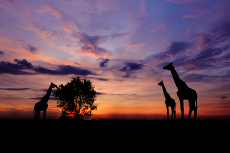 Silhouette of a giraffe eating leaves at twilight. Stock Photo