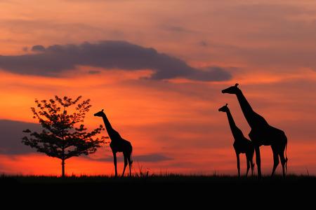 Sunset silhouette of Tree photo