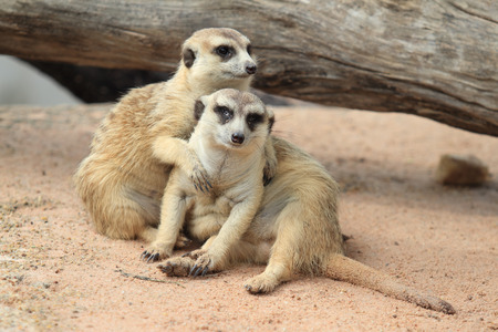 Meerkat, Suricate