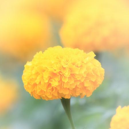 marigold flower in softfocus