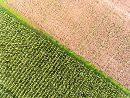 High angle view of corn field Stock Photo