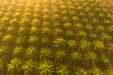 Aerial view Oil palm plantation at Sunrise