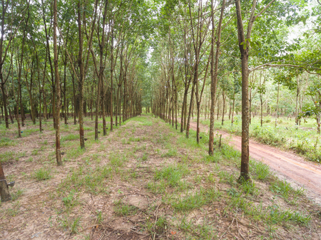 rubber plantations in Thailand
