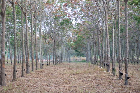 Tapping latex rubber tree at asia Thailand