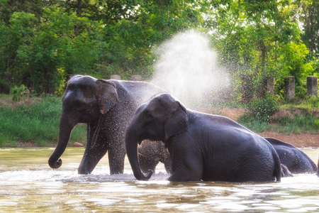 Elephants in the water playing form Thailand