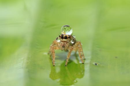 Jumping Spider Reklamní fotografie