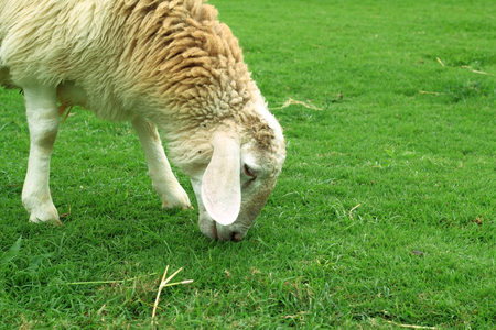 Lamb eating grass.