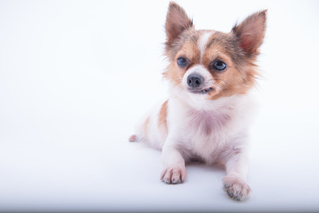 chihuahua in front of white background
