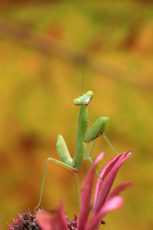 Mantis of Thailand 스톡 콘텐츠
