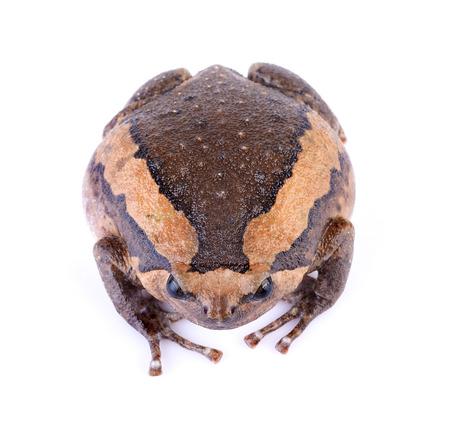 bullfrog: bullfrog Stock Photo