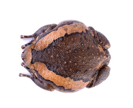 bullfrog: bullfrog on white background Stock Photo