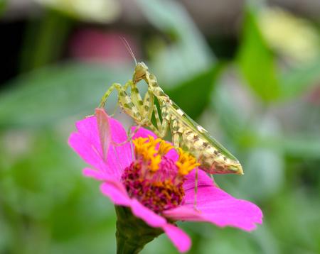 mantis: Mantis lives on flower Stock Photo