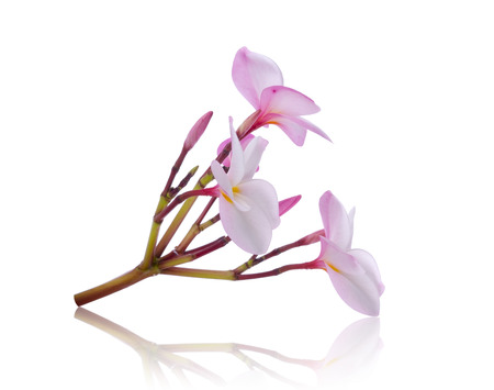 scent: frangipani (plumeria) on white background Stock Photo
