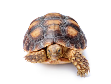 reptilian: turtle on white background