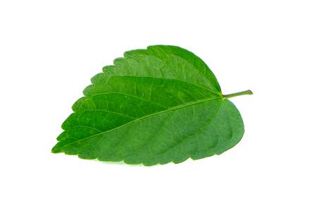 green leaf on white background Archivio Fotografico