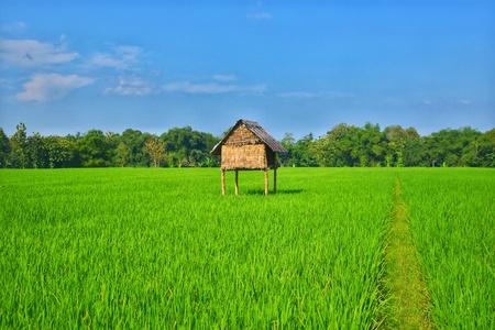 The rice field is very fertile. Reklamní fotografie