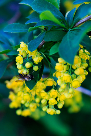 barberry: yellow barberry flowers Stock Photo