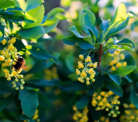 barberry: barberry flowering shrub