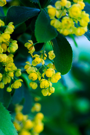 diagonally: yellow barbberry flowers, diagonally, close-up