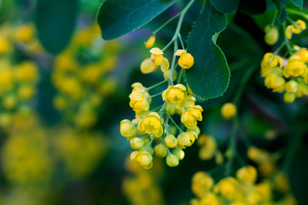 barberry: yellow barberry Stock Photo