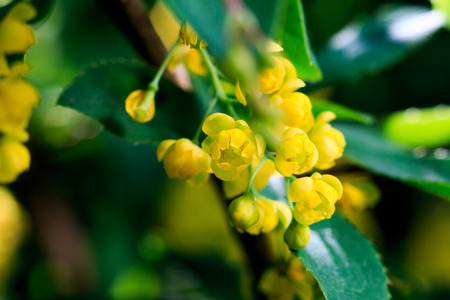 barberry: yellow barberry flowering, close-up