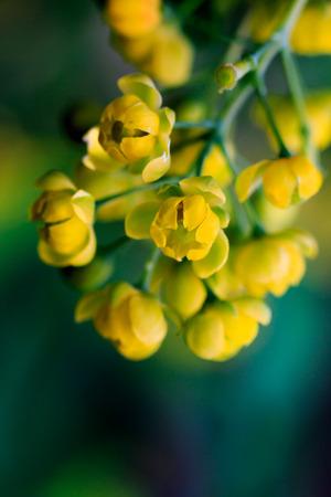 barberry: yellow barberry flowers, macro