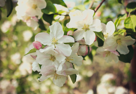 inflorescence: apple blossom inflorescence Stock Photo