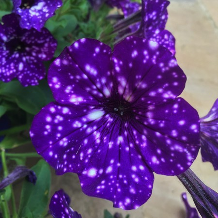 Galaxy Petunias in summer hanging baskets outdoors
