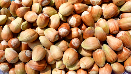 freshly picked: Freshly picked hazelnuts