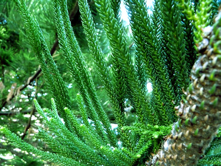 pine tree branch: close up of a pine tree branch