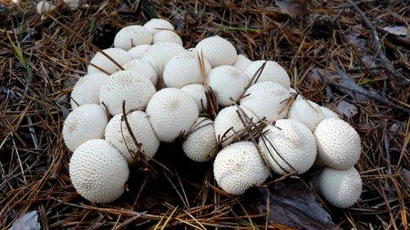 humus soil: Puffball mushrooms in a forest. Stock Photo