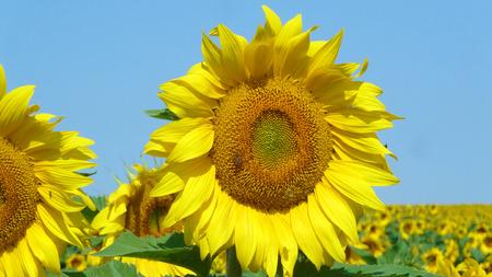 Sunflower bloom. photo