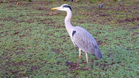 urban wildlife: Blue heron Stock Photo