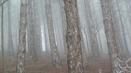 Spooky pine tree forest photo