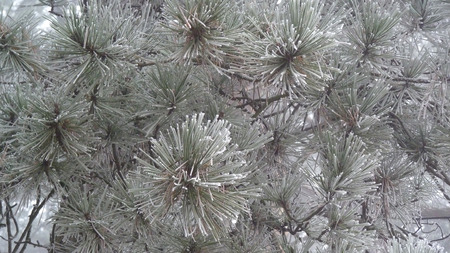 pine tree branch: Frosted pine tree branch
