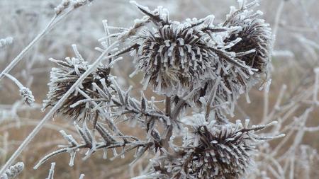 prickle: Frozen prickle Stock Photo