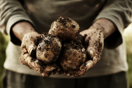 fresh potatoes in farmer s hands