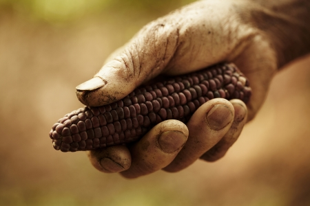 A farmers hands holding out corn