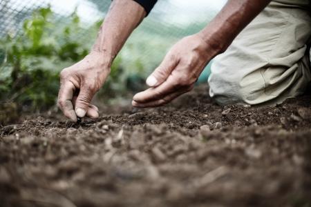 farmer hand seeding corn close up shoot Standard-Bild